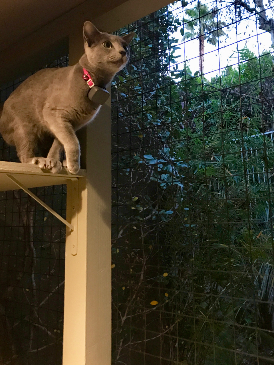 Moses Jumping in Beverly Hills Catio